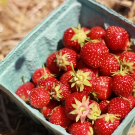 My Family and I went strawberry picking. (Image: quart of strawberries)